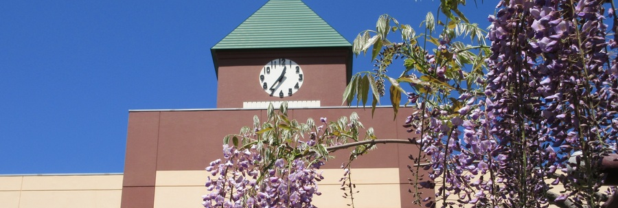 Wisteria and clock tower